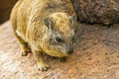 Cape hyrax on a rock in the zoo. — Stock Photo