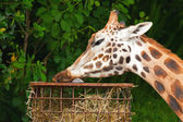 Rothschild giraffe in zoo. Eating. Head and long neck. — Stock Photo