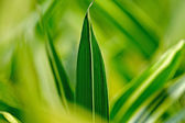 Macro of large green grass leaf with blurred background. Shallow — Stock Photo