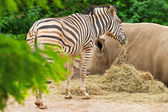 One zebra standing near white rhinoceros in zoo. — Stock Photo