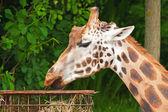 罗斯柴尔德长颈鹿在动物园里。吃了。头和长长的脖子. — 图库照片