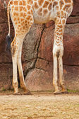 The legs of a rothschild giraffe in zoo. — Stock Photo