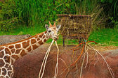 Rothschild giraffe eating in zoo. Head and long neck. — Stock Photo