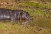 Pygmy hippopotamus in a puddle of water in zoo. — Stock Photo