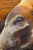 Close-up of a sleepy closed eye of a bush pig in the zoo. — Stock Photo