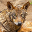 Iberian wolf in the zoo. Headshot. — Stock Photo