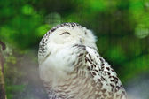 Snowy owl in zoo with blurred green background. — Stock Photo