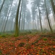 Stock Photo: Autumn forest with pines in the mist with autumn leafs on the gr