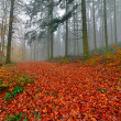 Autumn forest with pines in the mist with autumn leafs on the gr — Stock Photo
