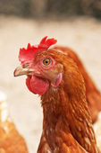 Close-up of chicken outdoors in coop. — Stock Photo