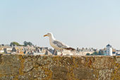 Sea gull standing on old city wall of Saint Malo. Brittany. Fran — Stock Photo