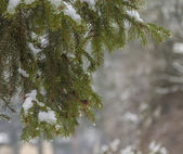 Frost on Pine — Stock fotografie