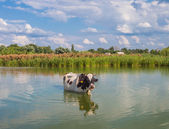 Cow in the river in summer — Stock Photo