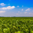Field with green plants and bright blue sky — Stock Photo