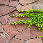 Rocks wall covered in ivy — Stock Photo