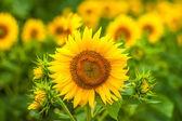 Girassóis no campo no verão — Foto Stock