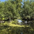 Old willows, wildlife of Danube delta — Stock Photo