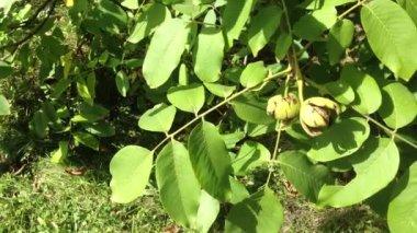 грецкие орехи, висит на дереве — Стоковое видео
