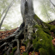 Roots of a big old tree — Stock Photo