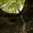 Tree with roots hanging on a cliff — Stock Photo