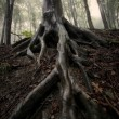 Big tree roots in the forest after rain - Stock Photo