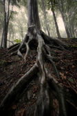 Big tree roots in the forest after rain — Stock Photo