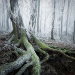 Tree with moss covered roots in a frozen forest with frost and fog in winter — Stock Photo #41051345