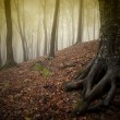 Tree with big roots in a forest with fog in autumn — Stock Photo