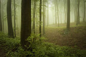 Green mysterious forest with fog — Stock Photo