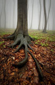 Tree with big roots in forest with fog — Stock Photo