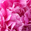 Pink peony with waterdrops close up — Stock Photo