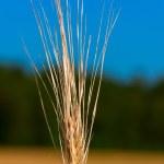Macro shot of ear of wheat — Stock Photo #30864811