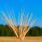 Macro shot of three ear of wheat — Stock Photo #30865983