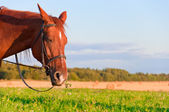 Portrait of a nice horse in the pasture — Stock Photo