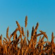 Stock Photo: Golden harvest under blue cloudy sky.
