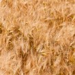 Collage of  of three ear of wheat — Stock Photo