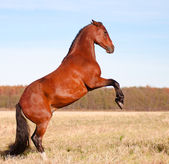 Beautiful bay stallion standing in the meadow — Stock Photo
