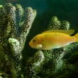 Yellow aquarium fish near corals — Stock Photo