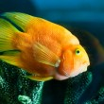 Yellow aquarium fish near corals — Stock Photo #42310589