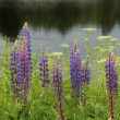 Lupin flowers at a lake — Stock Photo