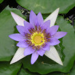 Stock Photo: Closeup lotus flower