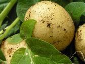 Patate novelle fresche, closeup — Foto Stock