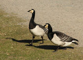 Two Barnacle Geese — Stock Photo