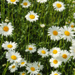 Stock Photo: White daisies in sunlight