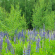 Stock Photo: Lupins and birches