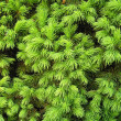 Background - close-up Norway spruce — Foto Stock