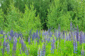 Lupins and birches — Stock Photo
