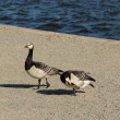Two Barnacle Geese — Foto de Stock