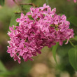 Closeup of lilac flower in spring — Stok fotoğraf