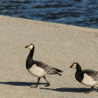 Stock Photo: Two Barnacle Geese